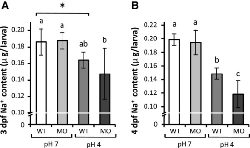 Effect of ncc knockdown on Na+ accumulation in zebrafish larvae under acid stress. (A, B): Whole body Na+ content in wild type (WT) larvae and ncc morphants (MO) treated with control pH7 or acidic pH4 FW for 3 d (A) or 4 d (B). Mean ± SD (n = 6). *p < 0.05 (Student's t-test). abcsignificant difference (One-way ANOVA, Tukey's multiple-comparison).