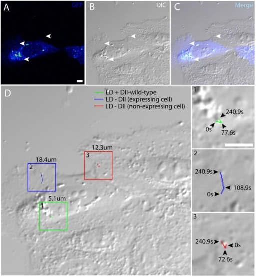 DII-corewt coated LDs are particle tracked using simultaneous TPF and DIC microscopy.This is a representative image of DII-corewt expressed in Huh-7 cells. Three individual LDs with dissimilar environments were selected (A–C, white arrows), and their trajectories were measured to calculate the overall distances traveled. (D) A larger DIC image of (B) includes boxes to identify each LD trajectory (inset 1–3). The value above each box (D) indicates their overall travel distances for (1) DII-corewt coated LD, (2) non DII-corewt coated LD within the same cell, (3) and a LD in an adjacent cell not expressing DII-corewt. Each LD trajectory is magnified to demonstrate the LD track with selective freeze frame time-intervals representing the LD position at their indicated times. Due to frequent bidirectional movements, the displayed trajectories represent a general movement path, and does not portray total distance. All of the LDs are tracked according to the same start and end time. All scale bars represent 10 µm.