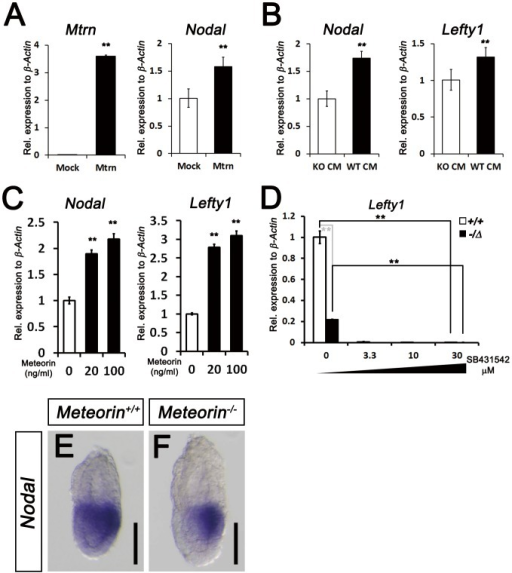 Restoration of Nodal signaling in Meteorin+/Δ ES cells by Meteorin expression and reduced expression of Nodal in Meteorin−/− embryos.(A) At 48-mMeteorin plasmid into Meteorin−/Δ ES cells, Meteorin and Nodal expression was higher than that of pCAGGS mock-transfected Meteorin−/Δ ES cells. (B) When conditioned medium obtained from Meteorin+/+ ES cells (WT CM) was applied to Meteorin−/Δ ES cells, the expression levels of Nodal and Lefty1 were higher than those seen when conditioned medium from Meteorin−/Δ (KO CM) was applied. (C)Nodal and Lefty1 expressions were analyzed by qRT-PCR 48 hrs after the addition of recombinant mouse Meteorin (rmMeteorin) to Meteorin−/Δ ES cells. Both gene expressions were induced by Meteorin protein addition. Error bars indicate s.e.m. **p<0.01. (D) Expression of Lefty1 transcript was assessed by qRT-PCR after the addition of SB431542, an inhibitor of type I TGF-beta receptors, to Meteorin+/+ or Meteorin−/Δ ES cell lines. The residual activity of TGF-beta/Nodal signaling in Meteorin−/Δ ES cells was further inhibited by SB431542 treatment. Error bars indicate s.e.m. **p<0.01. (E–F) Expression of Nodal transcripts was analyzed by in situ hybridization in Meteorin+/+ and Meteorin−/− embryos at each developmental stage. At E6.5, the expression level of Nodal was significantly lower in Meteorin−/− embryos than in Meteorin+/+ embryos, especially in the proximal epiblast. All scale bars: 100 µm.