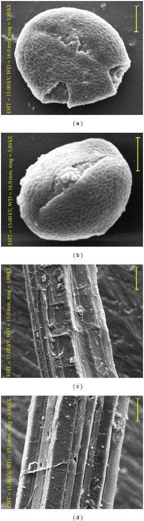 "Scanning electron micrographs of pollen grains ((a), (b)) and raw jute fibres ((c), (d)). ((a) and (c)) Corchorus olitorius. ((b) and (d)) ""thick stem"" mutant. Scale bar = 20 μm."
