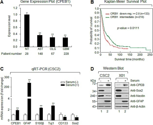 CPEB1 expression is inversely correlated with glioma stemness and overall survival of glioma patients(A) The expression level of mRNA obtained from NT (non-tumor, n = 28), AST (astrocytoma, n = 148), OLG (oligodendrocytoma, n = 67) and GBM (glioblastoma multiforme, n = 228). Data obtained from the REMBRANDT database of the National Cancer Institute. (B) Overall survival between CPEB1 down-regulated (red curve) and intermediate (green curve) patients was analyzed. Data obtained from the REMBRANDT database of the National Cancer Institute (CPEB1 down-regulated >=2-fold, n = 133; CPEB1 intermediate, n = 210; p = 0.0111). (C) Real-time quantitative RT-PCR (qRT-PCR) results of CPEB1, differentiation markers (GFAP, S100β, and Tuj1), stemness markers (CD133 and SOX2) were obtained from serum treated or non-treated CSC2 glioma stem cells (GSCs). Graphs are representative of three independent experiments. All error bars represent mean ± s.e.m. (n = 3). *p<0.05; **p<0.01. (D) Western blots (WB) of CPEB1, GFAP, Sox2 and Nestin in serum treated or non-treated CSC2 (left) and X01 (right) GSCs.