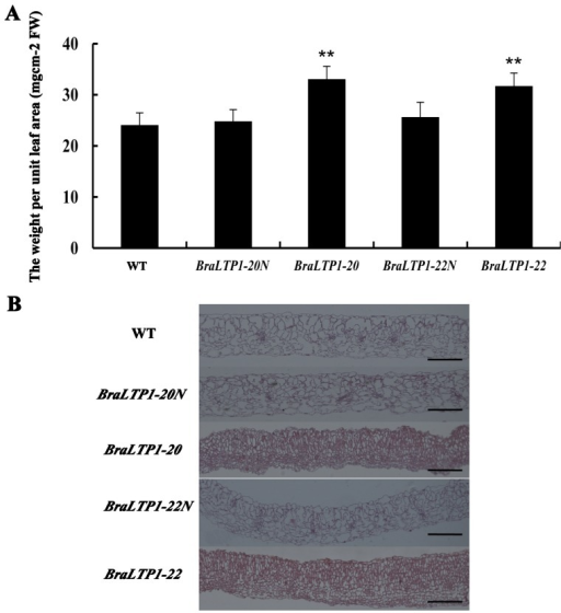 Overexpression of BraLTP1 promotes cell proliferation.(A) The weight of per unit leaf area of wild type (WT), BraLTP1-20 and BraLTP1-22 and their segregated negative controls BraLTP1-20N and BraLTP1-22N. Leaf disks were collected from the fourth fully-expanded leaf from the apex taken from 8-week-old plants. Data are the mean±SD from three independent experiments using leaves of five plants. **Significant differences at the levels of P<0.01. (B) Representative leaf cross-sections of segregating 35S::BraLTP1 and WT plants. The fourth fully-expanded leaf from the apex were taken from 6-week old plants of WT, 35S::BraLTP1 transgenic plants (BraLTP1-20 and BraLTP1-22), and  segregates of these two lines (BraLTP1-20N and BraLTP1-22N). The experiments were repeated for 3 times. Bar = 200 µm.