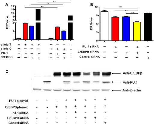 Allele-specific effects of rs1143627 are mediated through PU.1 and C/EBPβ.(A) IL1B promoter luciferase reporter plasmids carrying rs1143627 T or C allele were transfected into HeLa cells, with or without co-transfecting PU.1- or C/EBPβ-expressing plasmids. Luciferase activities of HeLa cells were determined and normalized to Renillla luciferase activities. (B) HeLa cells cotransfected with the T-allele IL1B promoter luciferase reporter plasmids, PU.1- and C/EBP-β- expressing plasmids were infected with PU.1, C/EBPβ, or control siRNA-carrying lentiviral vector constructs. Luciferase activities of HeLa cells were determined and normalized to Renillla luciferase activities. Differences between groups were compared with the ANOVA/Newman-Keuls multiple comparison test. (C) Western-blotting assay shows the expression of PU.1 or C/EBPβ after transfection or siRNA knockdown using monoclonal antibodies against PU.1 and C/EBPβ. **, p<0.01, ***, p<0.001.