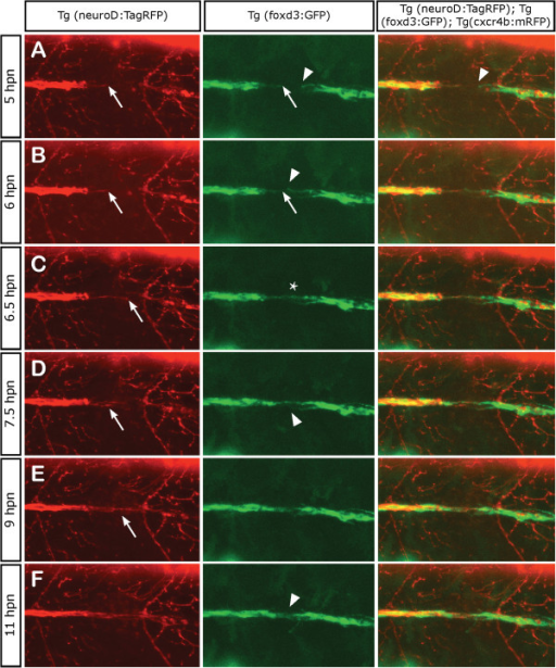 Axonal and Schwann cell behaviors at the point of neurectomy. Three days post fertilization transgenic Tg(neurod:TagRFP;foxd3:GFP) zebrafish larvae were neurectomized and imaged from 5 hpn to 11 hpn every 2 min following complete nerve transection (axons in red and Schwann cells in green). In all panels, the arrows show the behavior of axons and Schwann cells proximal to the gap whereas the arrowhead shows the behavior of Schwann cells distal to the gap. (A, B) A few hours after neurectomy, distal (denervated) Schwann cells extend their processes within the gap and show an exploratory behavior, whereas proximal Schwann cells are less motile. (C) At 6.5 hpn, the regrowing axons have contacted distal Schwann cells and have formed a bridge across the gap (asterisk). (D, E) After 7 hpn, the axons complete the crossing of the gap; often, the first axon to navigate the gap stops growing and another axon takes the lead. (F) After 11 hpn, the regrowing nerve has grown past the gap enabling the reconnection between proximal and distal Schwann cells in 100% of neurectomized larvae.