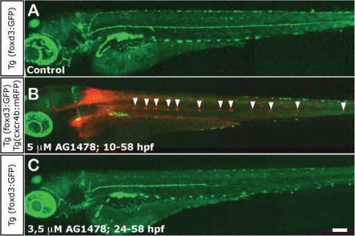 Impairment of Schwann cell migration following treatment with AG1478. (A) Normal distribution of Schwann cells in a 3 dpf control foxD3:GFP larva. (B) Total absence of Schwann cells in 3 dpf foxD3:GFP/Cxcr4:mCherry larvae treated with 5 μM AG1478 from 10 to 58 hpf (in this double transgenic, neuromasts are labeled in red fluorescence and Schwann cells in green). The supernumerary neuromasts that form in the absence of glial cells are indicated by arrowheads. (C) Partial absence of Schwann cells in 3 dpf foxD3:GFP larvae treated with 3.5 μM AG1478 from 24 to 58 hpf. With this treatement the Schwann cells migrate as far as the posterior end of the trunk (±two somites), but not into the tail at 3 dpf. Scale: A-C: 100 μm.