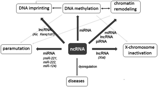 Schematic ncRNAs and chromatin regulatory network. ncRNAs influence different epigenetic events. Regulation involving miRNAs is the best known, particularly interesting is their participation in epigenetic heredity. miRNA-mediated inheritance is provided by the paramutation. Paramutation is an allelic interaction, one allele (called paramutagenic) causes heritable epigenetic changes in the second allele (called paramutable) of the same gene mediated by miRNA or siRNA. lncRNAs are also involved in epigenetic network, one of the first identified was Xist, the master regulator of X chromosome inactivation. Air, Kenq1ot1, Xist—the name of RNA genes