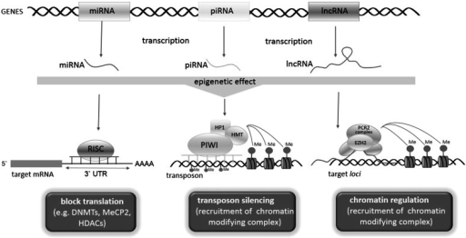 Effects exerted by ncRNA on the epigenetic regulations. Mature miRNAs after the incorporation into RISC complex bind to the complementary sequence in the 3′-UTR region of target transcript. miRNAs negatively regulate their targets by one of the four ways: (1) mRNA cleavage, (2) translation repression, (3) mRNA deadenylation, and (4) mRNA P-body localization. piRNA associated with PIWI proteins mediated in histone modifications and de novo DNA methylation. lncRNAs guide chromatin-remodeling complexes to specific site and also serve as scaffolds for modifying complexes