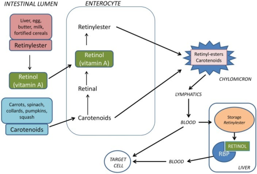 Vitamin A is provided from the food either as preformed vitamin A (retinyl esters) or as provitamin A carotenoids. Retinyl esters are hydrolyzed by pancreatic and intestinal enzymes and free retinol is taken up by the enterocytes. Half of the carotenoids is oxidized to retinal and then reduced to retinol. Retinol is esterified with long-chain fatty acids and incorporated into chylomicrons together with intact carotenoids and then carried by the lymphatics. The chylomicrons are taken up by hepatocytes in the liver where vitamin A is stored as retinyl esters. Before being released from the liver to the circulation, retinyl esters are hydrolyzed to retinol which binds to retinol-binding protein (RBP).