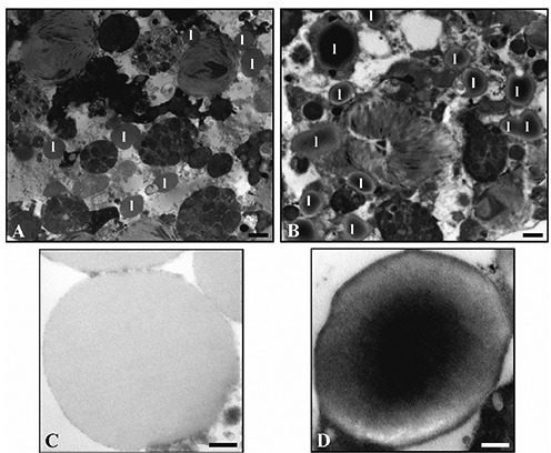The amount of lipid vacuoles (l) appears lower in the control (A) compared to the polluted samples (B). High magnification of lipid droplets in untreated specimens (C) and treated ones (D), which show an electron-dense core and a well-defined membrane. Scale bars: A, B) 1 µm; C, D) 250 nm.
