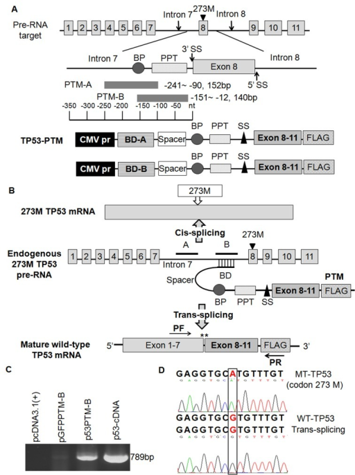 Schematic illustration of trans-splicing used for the correction of mutant p53 transcripts and the detection of trans-spliced p53 RNA in transfected cellsA. the structure of p53 pre-trans-splicing molecules (PTM). The hybridization domain is antisense to intron 7 of p53 pre-mRNA. BD-A and BD-B differ only in their binding regions, domain B was more efficient than domain A in promoting trans-splicing. BD, binding domain; BP, branch point; PPT, polypyrimidine tract; SS, splicing site. B. Schematic representation of the trans-splicing mechanism. Cis-splicing of the mutant p53 pre-mRNA yields a mutant p53 transcript in codon 273. Mutant p53 transcripts were repaired through the approach of trans-splicing. Arrowheads indicate the PCR primers used for detection of trans-splicing-generated products. C. Detection of trans-spliced p53 RNA in transfected HT-29 cells. D. DNA sequence analysis of RT-PCR product of trans-splicing isolated from HT-29 cells transfected with p53-PTM plasmids.