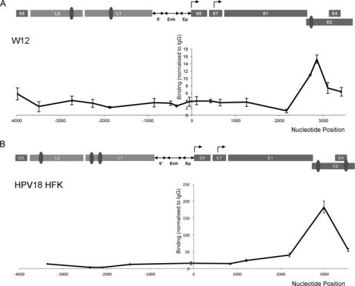 Association of CTCF with HPV genomes. Chromatin extracted from HPV16-positive W12 cells (A) and HPV18-positive HFKs (B) was immunoprecipitated with control antibody (rabbit IgG for W12 and FLAG M2 antibody for HPV18 HFKs) or CTCF-specific antibody. Coprecipitating DNA was analyzed by qPCR. The x axes indicate the position in the HPV genome amplified, and each data point represents the central point in each amplicon. A graphical representation of the HPV genome is shown above each data set, which has been linearized for ease of presentation (Enh, enhancer; Ep, early promoter). The CTCF binding sites verified by EMSA (Fig. 1 and Table 2) are indicated (dark gray ovals). Binding efficiency was normalized to negative-control antibody using the ΔΔCT method. The data represent the means and standard errors from three independent repeats.