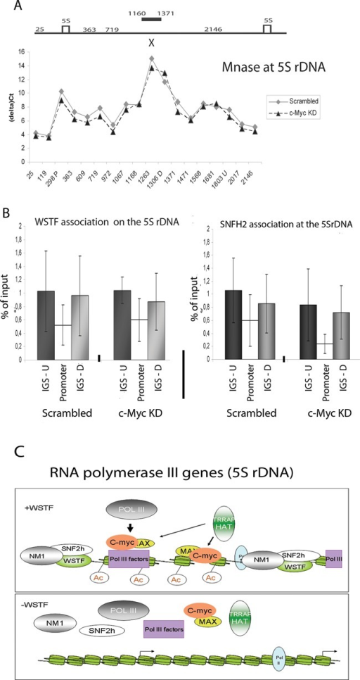 c-Myc requires the B-WICH complex to remodel chromatin for its function. (A) MNase accessibility of the 5S rDNA using cross-linked chromatin from scrambled cells and c-Myc KD cells analysed by qPCR using the primer pairs depicted in Figure 2A. The gene organisation is depicted above the graph, where the hypersensitive site affected by B-WICH is marked by a bar and the E-box by an X. The graph is based on four independent experiments. (B) qPCR analyses of ChIP experiments of the distribution of the WSTF and SNF2h in scrambled and c-Myc KD cells at the 5S rDNA. The position detected by the primer pairs are marked IGS-U for upstream, promoter for the internal promoter in the gene and IGS-D for downstream. The results are based on four independent experiments and the error bars represent standard deviations. (C) Schematic model of the function of the B-WICH complex in RNA pol III transcription, here depicted at the 5S rDNA.