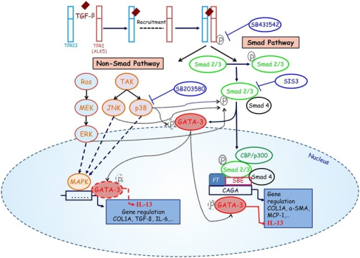 the smad pathway last Smad transcription factors ing through the smad pathway provides general prin- have been extensively studied over the last few years.