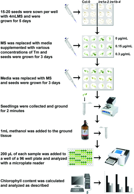 Flowchart of the procedures to quantify tunicamycin (Tm) sensitivity of Arabidopsis seedlings using liquid media followed by chlorophyll measurement.