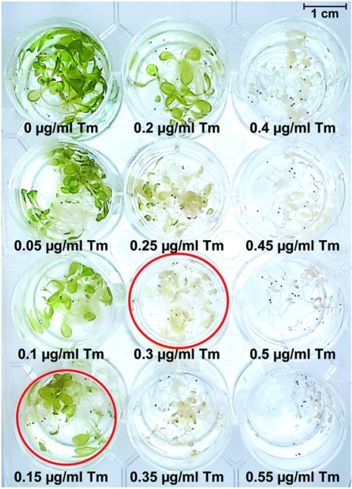 Dose-response assay to determine Tm concentrations resulting in appearance of retarded growth and chlorosis in Arabidopsis seedlings. Long-day grown 5-day-old seedlings were subjected to Tm treatment for 3 days and photographed. Wells corresponding to Tm concentrations of 0.15 and 0.3 μg/mL are circled in red.