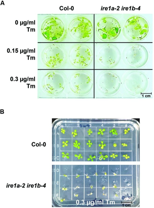 Phenotypic responses of Arabidopsis wild type Col-0 and ire1a-2 ire1b-4 seedlings to varied concentrations of Tm. (A) Seeds were grown in liquid MS media for 5 days, then the media was removed and replaced by fresh MS supplemented with designated concentrations of Tm for 3 days. Phenotypic responses, such as dwarfism and chlorosis, were documented. The ire1a-2 ire1b-4 plants display more profound stress symptoms compared to Col-0 under both Tm concentrations. (B) Seeds were grown on solid plates under the same conditions as seeds grown in (A). Seeds were transferred to plates containing various concentrations of Tm after 5 days of growth on MS and were transferred again to MS plates after 3 days of growth on plates supplemented with Tm. Seeds were allowed 3 days recovery before data analysis.