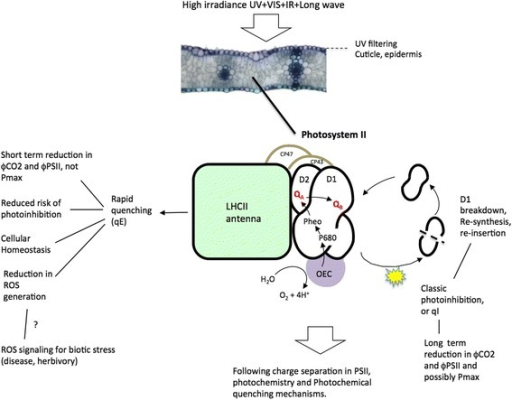 Summary of the major processes involved in protective NPQ and photoinhibition described in this mini-review. The objective of this figure is to help explain why the tradeoffs between photoprotection, photoinhibition and photosynthesis occur. D1, D2, CP47 and CP43 refer to PSII proteins. LHCII is the light harvesting complex associated with PSII and OEC refers to the oxygen evolving complex of PSII