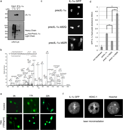 IL-1α acetylation within the nuclear localization sequence impacts on IL1α subcellular localisation.(a) IL-1α precursor is recognized by a pan acetyl antibody. Endogenous IL-1α was immunoprecipitated (IP) from nuclear extracts of Raw 264.7 cells, either induced or non-induced with 100 ng/ml LPS. Total IP proteins were separated over 15% SDS PAGE, transferred to nitrocellulose membranes and blotted with anti-mouse IL-1α (top panel) or anti-Kac (bottom panel). Acetylated IL-1α is marked by arrows and IP antibody light and heavy chain signals are indicated. (b) Annotated MS/MS spectrum of the tryptic peptide VTVSATSSN(Deam)GK(Acetyl)ILK (MH2 + 724.40 Da) showing acetylation of IL-1α (Uniprot ID P01582) at K82 and N80 deamidation. (c) PrecIL-1α K82 mutants affect IL-1α sub-cellular localization. Confocal microscopic analysis of GFP tagged WT IL-1α and mutations of precIL-1α K82 to glutamine (precIL-1α K82Q, mimicking acetylation) and to arginine (precIL-1α K82R non-acetylateable). White scale bars, 20 μm (d) IL-1α K82 mutations reduce cytokine secretion after DNA damage. Mouse B16 cells were transfected with the indicated GFP IL-1α plasmids. The cells were then subjected to 100 μM H2O2. 16h after stress induction levels of secreted GFP IL-1α in cell growth medium was measured using a GFP ELISA. GFP IL-1α levels in cell lysates were used to normalize for transfection efficiencies and non-transfected cells were used as negative controls. Data are expressed as mean ± SD of three independent experiments. (e) Histone deacetylase inhibition by TSA increases IL-1α nuclear localization. Images of cells expressing GFP IL-1α either non-treated (control) or treated with TSA (100 ng/ml) were collected every hour for 22 h and representative images for three time points (0, 11 and 22 hours) are shown (For averaged fluorescence intensities of nuclear/cytoplasmic ratios see Supplementary Figure 1b). (f) HDAC-1 and IL-1α can co-localize at DNA damage lesions. Cells expressing GFP IL-1α were laser-microirradiated for the induction of DNA damage. Localization of HDAC-1 and IL-1α–GFP were visualized by confocal microscopic analysis.