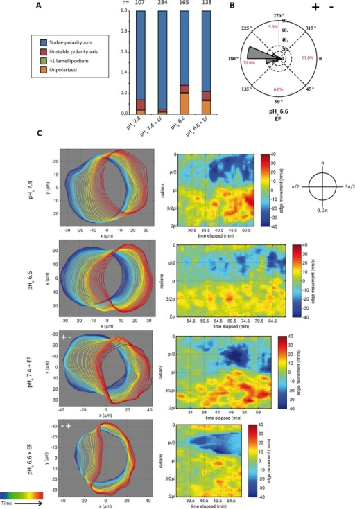 Lowering pHe reverses the direction of symmetry breaking. (A) Quantification of morphologies of cells bathing in low pHe with and without EF. The number of cells quantified is indicated above each column. (B) Rose plot representing the direction of symmetry breaking in low-pH medium. (C) Automated boundary detection from phase contrast videos and the associated protrusion/retraction maps constructed from boundary movements in time for the conditions of low- and normal-pH medium with and without EF. In the detected boundaries, time progression is represented from blue to red. In the protrusion/retraction maps, the x-axis represents the time, and the y-axis is the position of the cellular boundary from 0 to 2π. Representative cells have been turned at the indicated angles so that their leading edges always face the right side. Symmetry breaking in the normal-pH condition (with and without EF), as well as low-pH condition (without EF), is featured by front protrusions preceding the retraction of the back. By contrast, at low pH (with EF), there is an invagination of the cellular boundary at the lagging edge. The invagination event is represented by the unique conical shape of the blue retraction area of the corresponding protrusion/retraction map. Moreover, there is also a general reduction of leading-edge protrusion and cell translocation speed during polarization in this condition.