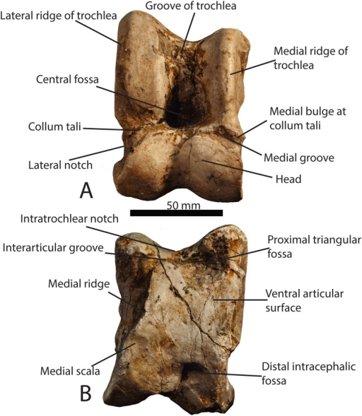 Astragalar terminology.(A) Photograph of a Samotherium major (GMM 2002) astragalus in dorsal view, with representative terminology. (B) Samotherium major (GMM 2002) astragalus in ventral view, with representative terminology. The scale bar represents 50 mm.