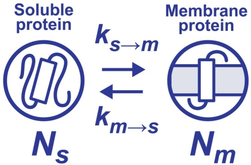 Changes in an amino acid sequence gives rise to the transformation between soluble and membrane proteins. The rate constants, km→s and ks→m, can be defined as the numbers of transformations from soluble to membrane proteins and of the inverse process per a given number of mutations, respectively.