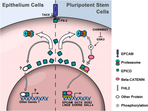 Diagram of EpCAM signaling in epithelial cells and pluripotent stem cells.