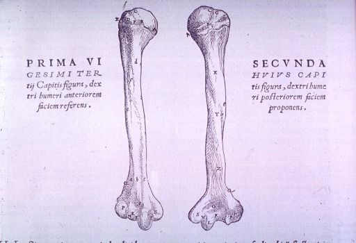 <p>Two views of the humerus.</p>