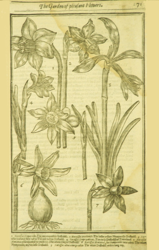 <p>Woodcut illustration of seven types of daffodils.</p>