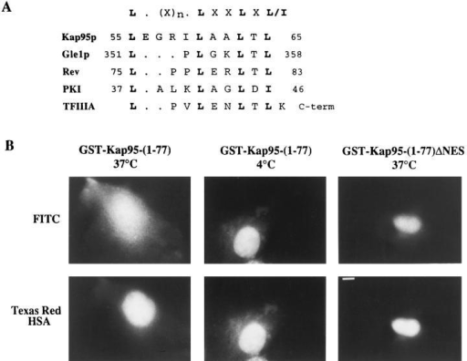 The NES region of  Kap95p mediates nuclear export. (A) Alignment of a region of Kap95p with the NES  sequences of HIV-1 Rev, PKI,  TFIIIA, and Gle1p is shown.  (B) GST-Kap95-(1-77) and  GST-Kap95-(1-77)ΔNES fusion proteins were purified  and conjugated to FITC. The  fluorescent conjugates were  individually coinjected into  the nuclei of COS-1 cells with  Texas red–HSA. After a 45min incubation at either 37°C  or 4°C, the cells were fixed  and examined by fluorescence  microscopy. The Texas red– HSA remained nuclear localized (bottom row); however,  the FITC-GST-Kap95-(1-77)  moved to the cytoplasm (top,  left) when incubated at 37°C.  The FITC-GST-Kap95-(177) was confined to the nucleus at 4°C incubation (top,  middle). The fusion lacking  the NES motif (FITC-GSTKap95-(1-77)ΔNES) remained  nuclear even at 37°C (top,  right). Bar, 10 μm.