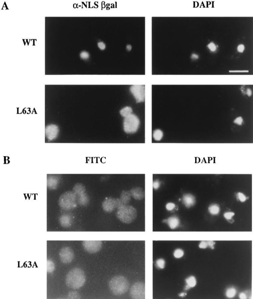 Nuclear import capacity is diminished in arrested  kap95-L63A cells. (A) To assay nuclear import, wild-type  (SWY1312) and kap95-L63A (SWY1313) strains were transformed with the plasmid expressing NLS–β-galactosidase under  GAL10 (pNLS-E1). Expression was induced by the addition of  2% galactose, and the cells were shifted to growth at 37°C. After  3 h at 37°C, the cells were fixed and processed for immunofluorescence microscopy. Localization of the reporter was determined using mAbs against β-galactosidase. (B) Export of  poly(A)+ RNA was not inhibited. Wild-type and kap95-L63A  cells grown in YEPD at 23°C were shifted to growth at 37°C and  processed for in situ hybridization with a digoxigenin-oligo- (dT)30 probe. FITC-conjugated anti-digoxigenin antibodies were  used to localize probe binding. Exposure and printing times are  identical for wild-type and mutant cells in the given experiment.  Coincident DAPI staining is shown. Bar, 5 μm.