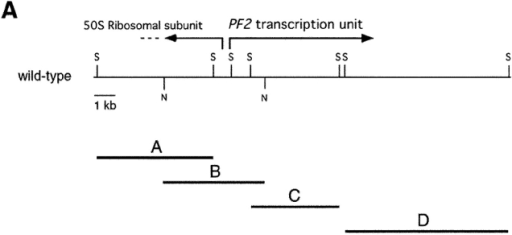 Analysis of the PF2 transcription unit. (A) Partial restriction map of wild-type genomic DNA in the region of the PF2 transcription unit. Also shown are selected SacI fragments (A, C, and D) and a NotI fragment (B) that were used to map the boundaries of the plasmid insertion and determine the size of the transcription unit. (B) Northern blot loaded with total RNA isolated from wild-type (wt) and pf2 mutant cells before (0) and 45 min after deflagellation. This blot was hybridized with probe C, which recognized an ∼2.5-kb transcript that is up-regulated in wild-type cells and missing in pf2 mutants. (B, bottom) Loading control. The blot was rehybridized with a CRY1 probe, which encodes the ribosomal S14 protein subunit (Nelson et al., 1994). (C) Diagram of the intron–exon structure of the PF2 transcription unit. Open rectangles indicate exons and solid lines indicate introns. The predicted translation start (ATG) site and the putative polyadenylation signal (Poly A) are indicated. Also shown are the single nucleotide alterations that resulted in the pf2-1 and pf2-2 mutations, and the location of the epitope tag in exon 12.