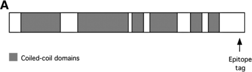 PF2 protein structure and epitope tagging. (A) Diagrammatic representation of the domain structure of the PF2 polypeptide. Indicated are predicted coiled-coil domains (gray, shaded boxes) and the location of the epitope tag. (B) Western blot analysis of whole axonemes isolated from wild type, pf2-4, and a pf2-4 strain rescued with the epitope-tagged PF2 gene (pf2-4r:3HA). Blots were visualized with a reversible total protein stain (left) before immunolabeling with an antibody directed against the HA epitope (right). The HA antibody recognized a single band in pf2-4r:3HA migrating at ∼60 kD.