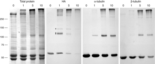 Identification of polypeptides that interact with PF2. Axonemes from the HA-tagged pf2-4 rescued strain were treated with 0, 1, 5, or 10 mM EDC and then used to prepare four identical Western blots. The first blot was stained for total protein. The remaining blots were labeled with antibodies directed against either the HA epitope (HA), α-tubulin (YOL 1/34), or β-tubulin (Tu27B). Asterisks mark three cross-linked products formed as a result of treating the HA-tagged PF2 axonemes with 1 mM EDC.
