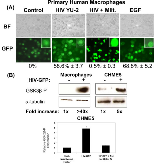 HIV-1 infection promotes membrane recruitment of Akt's PH domain, resulting in increased Akt activity. (A) Primary human macrophages were sequentially infected with M-tropic HIV-1 YU-2 and Ad.CMV-EGFP-PHAkt expressing the PH domain of Akt, and localization of the PH domain of Akt was assessed by fluorescence microscopy. Heat inactivated YU-2 was used as a negative control, and treatment with epidermal growth factor (EGF) was used as a positive control for Akt activation. HIV-1 infected macrophages were treated with 10 μM Miltefosine (Milt.) for inhibition of Akt. BF: bright field. GFP: green fluorescent protein. Inset: High magnification images of representative cells. The percentage of membrane localized PH-Akt is shown with the SD from three independent experiments. (B) Assay for Akt kinase activity. Macrophage and CHME5 cells were transduced with HIV vector and lysed. Using these lysates, an Akt kinase activity assay was performed using GSK3β as a substrate. Western blots of phospho-GSK3β (GSK3β-P) and α-Tubulin (loading control) are shown along with the fold induction of Akt kinase activity relative to control. Fold increase of Akt kinase activity is also shown. The error bars denote the SD from three independent experiments.