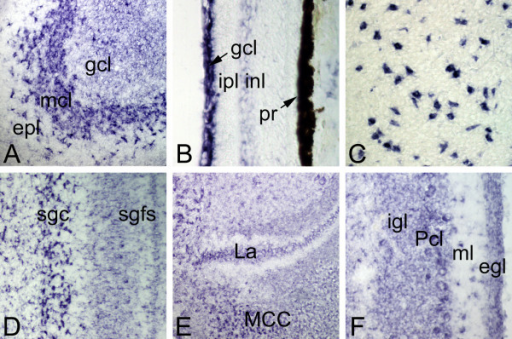 Teneurin-1 is expressed in many parts of the developing CNS. In situ hybridization at E17 with a teneurin-1 antisense probe (sense controls were negative). In the olfactory bulb (A), there is a strong hybridization signal in the mitral cell layer (mcl). The ganglion cell layer (gcl) is also positive, but the external plexiform layer (epl) is not. In the retina (B), the ganglion cell layer (gcl) is labelled intensely, and there is a faint signal in neurons of the inner nuclear layer (inl) adjacent to the inner plexiform layer (ipl). The pigment retina (pr) has dark melanosomes. The nucleus rotundus (C) contains large, scattered neurons that are positive for teneurin-1 mRNA. In the optic tectum (D) teneurin-1 mRNA is widespread, but is seen most clearly in the large neurons of the stratum griseum centrale (sgc). In the hindbrain (E) the nucleus laminaris (La) and nucleus magnocellularis (MCC) are labelled, as are Purkinje cells (Pcl) and other neurons in the cerebellum (F).