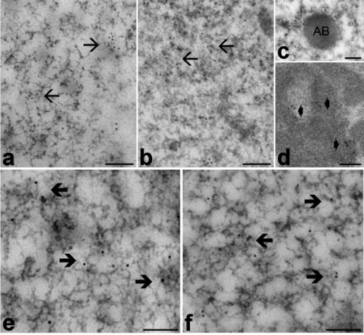 Myonuclei from euthermic (a, e) and hibernating (b-d, f) edible dormice; LRWhite embedding, EDTA staining. a-d. Immunolabelling with anti-DNA/RNA hybrid molecule antibody: the signal occurs in both nucleoplasm, where it is mainly associated to PF (arrows), and in nucleolar DFC (arrowheads). The amorphous body (AB) is unlabelled. e, f. Immunolabelling with anti-phosphorylated polymerase II antibody: a specific signal is present over PF (thick arrows). Bars = 0.2 μm.