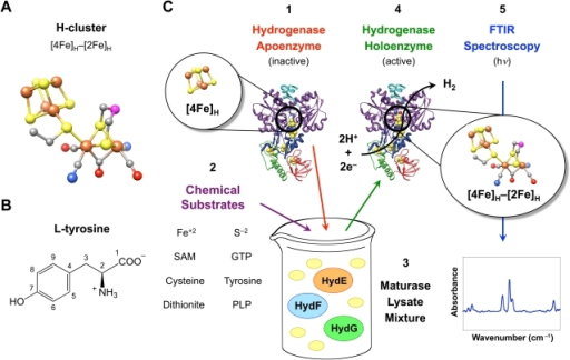 In vitro [FeFe] hydrogenase activation for FTIR spectroscopic analysis.(Fig. 1A) A ball and stick representation of the hydrogenase H-cluster. The catalytic [2Fe]H cluster is joined to the cubane [4Fe]H cluster, colored with the following scheme: brown (Fe), yellow (S), gray (C), red (O), blue (N), and magenta (unknown). (Fig. 1B) The chemical structure for L-tyrosine, with carbon atoms numbered 1–9. (Fig. 1C) The in vitro hydrogenase maturation process. For cell-free H-cluster synthesis, (1) CpI apoenzyme (PDB ID 3C8Y) as well as (2) exogenous substrates are added to (3) a mixture of three lysates containing E. coli proteins (yellow ovals) and individually produced maturases. HydE, HydF, and HydG are expressed separately to avoid H-cluster synthesis during in vivo maturase expression. Following hydrogenase maturation, (4) the CpI holoenzyme is re-purified, and (5) the active hydrogenase is examined using FTIR spectroscopy.