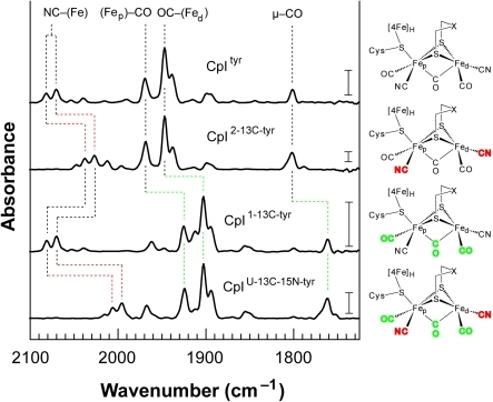 FTIR spectroscopic analysis for active CpI produced in vitro using natural abundance tyrosine or isotopically labeled tyrosine analogs.The IR spectra are for the as-isolated active CpI hydrogenase containing the H-cluster produced in the presence of L-tyrosine (CpItyr), L-[2-13C]-tyrosine (CpI2-13C-tyr), L-[1-13C]-tyrosine (CpI1-13C-tyr), and L-[U-13C-15N]-tyrosine (CpIU-13C-15N-tyr). The shifts in vibrational energies correlate with expected changes for ν(13CO), ν(13CN), and ν(13C15N) modes, confirming that the CO and CN− ligands are synthesized from tyrosine. Labels indicating the assigned ν(CO) and ν(CN) vibrational modes are provided at the top of the figure, with the 13CN−/13C15N− and 13CO ligands shown in red and green, respectively, in the molecular diagrams. Vertical scale bars provided at 1740 cm−1 represent a difference of 0.5 milliabsorbance units. Table 2 summarizes the vibrational energies and corresponding assigned ν(CN) and ν(CO) modes for the Hox clusters.
