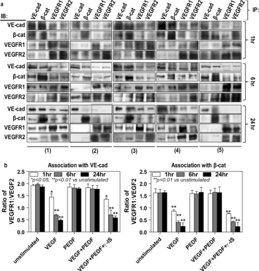 PEDF maintains the association between AJ proteins and VEGF receptors in VEGF treated cells.Confluent retinal endothelial cells were either unstimulated (1) treated with VEGF alone (2), PEDF alone (3), VEGF followed by PEDF 6 hours later without (4) and with (5) γ-secretase inhibitor for 24 hours. VEGFA and PEDF were used at 100 ng/ml and γ-secretase inhibitor at 1 nM. Total cell lysates were split into four equal portions and immunoprecipitated with anti-VE-cadherin, anti-β-catenin, anti-VEGFR1-C-terminus and anti-VEGFR2-C-terminus, and then subsequent Western blot analyzed using these four antibodies, respectively. (a) A panel of representative Western blots. (b) Band intensities of replicate experiments (n = 4 independent experiments) were quantified as described in the Methods and regression analysis undertaken to assess the association of these proteins.