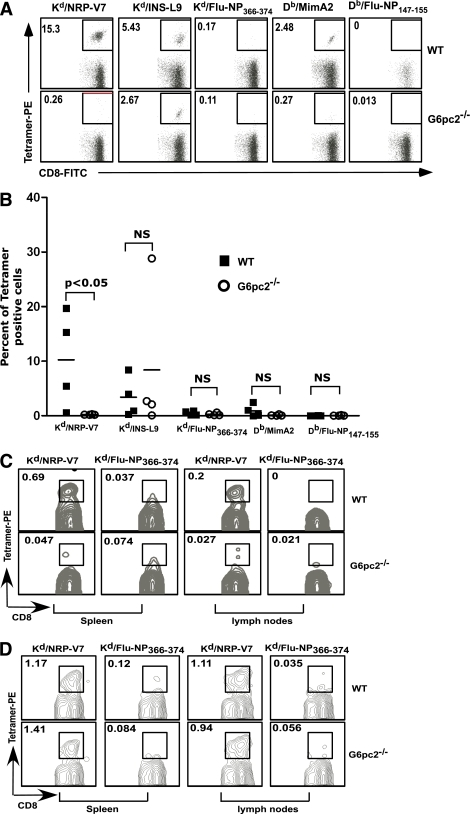 Islet autoantigen–specific CD8+ T-cell responses in wild-type and G6pc2-deficient NOD/ShiLtJ mice. A and B: Islets were isolated from individual female wild-type or G6pc2−/− NOD/ShiLtJ mice at 12 weeks of age and cultured in the presence of interleukin-2 for 9 days. Cells were then stained with FITC-labeled anti-CD8α and PE-labeled MHC–class I tetramers loaded with the indicated peptides and analyzed by flow cytometry. Tetramers loaded with Flu-NP366–374 or Flu-NP147–155 were used as a negative control for tetramer staining. Data were electronically gated for CD8α-expressing cells. A: Representative flow cytometry data for one wild-type mouse and one G6pc2-deficient mouse. Numbers indicate the percentage of cells within the gated area. B: Summary of the flow cytometry data for four wild-type and four G6pc2-deficient mice from two experiments. C: Splenic and lymph-node cells were prepared from female wild-type or G6pc2−/− NOD/ShiLtJ mice at 12 weeks of age, and the frequency of NRP-V7–specific CD8+ T cells was determined by tetramer staining. Data were electronically gated for CD8α-expressing cells. Representative flow cytometry data are shown. D: Wild-type or G6pc2−/− NOD/ShiLtJ female mice were immunized with NRP-V7 peptide (100 μg per mouse) emulsified in complete Freund's adjuvant. Two weeks later, splenic and draining lymph-node cells were prepared and stained with anti–CD8α-FITC and NRP-V7 or control Flu-NP tetramer and analyzed by flow cytometry. Data were electronically gated for CD8α-expressing cells. Representative flow cytometry data are shown. NS, not significant; WT, wild-type. (A high-quality color representation of this figure is available in the online issue.)