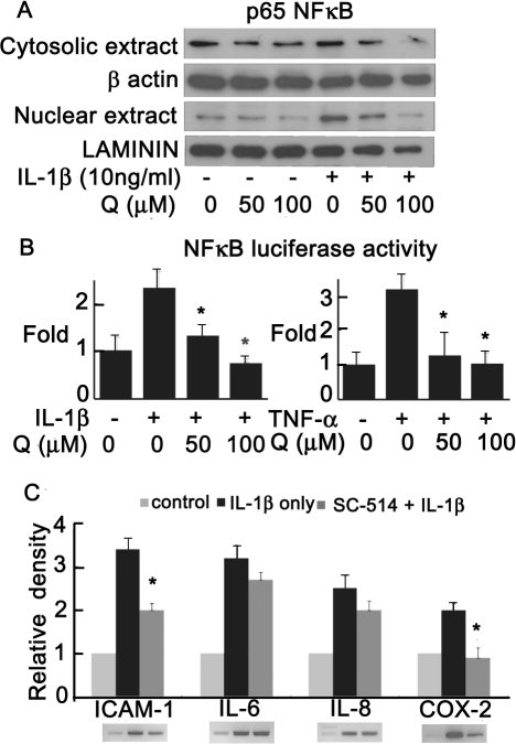 Effect of quercetin on NF-κB activation in GO orbital fibroblasts.(A) Cells were pretreated with quercetin for 24 h prior to IL-1β (10 ng/ml) stimulation for 16 h, and p65 NF-κB translocation was assayed by western blot analysis. (B) Results of assays measuring NF-κB activity with a NF-κB-dependent luciferase reporter construct in cells treated with quercetin (0, 50 or 100 µM, 24 h) prior to stimulation with IL-1β or TNF-α (10 ng/ml) for 16 h. (C) RT-PCR analysis of ICAM-1, IL-6, IL-8, and COX-2 expression in cells pretreated with NF-κB inhibitor SC-514 (100 µM) for 1 h and then stimulated with IL-1β (10 ng/ml). PCR bands measured by densitometry and normalized to GAPDH. *P<0.05 vs. cells stimulated with IL-1β or TNF-α alone.