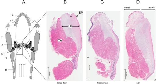 Panthera vocal folds possess a large lamina propria A  Schematic    Lamina Propria Vocal Folds