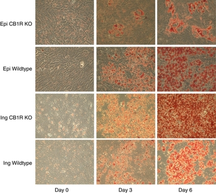 Depot-specific effects on adipocyte differentiation are demonstrated. Oil Red O staining of newly generated inguinal (Ing) and epididymal (Epi) CB1-receptor knockout (KO) cells compared with their wild-type control. Lipid accumulation was visualized at days 0, 3 and 6 during adipogenesis. Microscopic pictures in 40-fold magnification are shown.