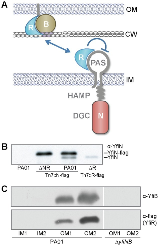 Interactions between the YfiBNR proteins.A) A model of yfiBNR interaction. YfiN is a membrane-localized DGC controlled by YfiR. YfiB, the outer-membrane bound Pal-like protein, activates YfiN by sequestering YfiR. B) Co-immunoprecipitation of YfiN with flag-tagged YfiN and YfiR. Immunoblot of boiled M2 resin samples with anti-YfiN antiserum shows YfiN (lower band) co-precipitating with YfiN-flag (upper band) or YfiR-flag. C) Membrane localization of YfiB and YfiR. Immunoblots of fractionated membrane samples with anti-YfiB (upper panel) and M2 antisera (lower 2 panels). The left two panels show membrane fractions for PA01 yfiR-M2, the right panel for ΔyfiBN yfiR-M2. IM1/2: inner membrane fractions, OM1/2: outer membrane fractions.