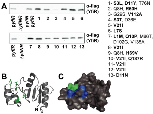 Compensatory YfiR alleles.A) Immunoblots with M2 antiserum, showing levels of compensatory YfiR-flag variants in whole cell lysates. pyfiR: ΔyfiNR pMR-yfiR-flag, ΔyfiNR: strain without vector, pyfiN/pyfiR: ΔyfiNR pGm-yfiprom-N, pMR-yfiR-flag, lanes 1–13: ΔyfiNR pGm-yfiprom-N with compensatory pMR-yfiR-flag plasmids, proposed activating mutations are highlighted in bold. Mutants in lane 1, 4–8, 10–13 harbor mutations in the signal peptide that enhance expression, see also Table 2. B) Cartoon showing the locations of activating substitutions (green) on a homology model of YfiR (comprising residues 68–190). N and C termini are marked. The YfiR model is based on multiple structures (see Materials and methods). C) Surface representation of the YfiR model. The locations of activating mutants are shown in green, hydrophobic residues forming the possible YfiN binding surface are shown in dark blue.