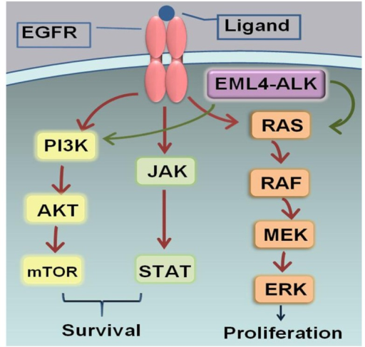Epidermal growth factor receptor (EGFR). The binding between EGFR and ligand triggers downstream intracellular signaling pathways including the PI3K/AKT prosurvival, STAT transcription, and RAS/RAF/MEK proliferation pathways. The anaplastic lymphoma kinase (ALK) fusion proteins mainly activate the RAS/RAF/MEK and PI3K/AKT pathways. Amplification of the EGFR and ALK signaling pathways drives cell proliferation, cell motility, and carcinogenesis.