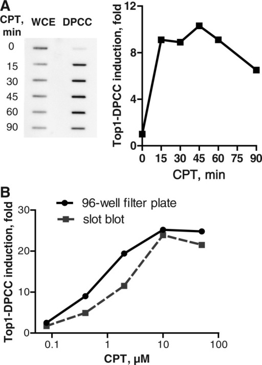 Top1–DPCC immunoassay. (A) Kinetics of Top1–DPCC induction. Left, slot blot comparing Top1 signal in whole-cell extract (WCE) or DPCCs isolated from GM639 cells, which were treated with 10 µM CPT for indicated number of minutes. Right, quantification of fold induction of Top1–DPCC at indicated time, normalized to signal from untreated (t = 0) cells. (B) Comparison of Top1–DPCC induction as assayed by slot blotting or 96-well filter plate chemiluminescent detection. Assays were performed in parallel on samples from GM639 cells treated with indicated doses of CPT.