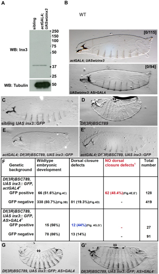 inx3::GFP overexpression rescues dorsal closure defects of Df(3R)BSC789.A: Western blot detection of Inx3 upon Inx3 depletion by RNAi using UASwizinx3 and actGAL4. Note that the overexpression of UASwizinx3 is not enough to deplete Inx3 when compared to siblings. B, B': Brightfield micrographs of dorso-lateral cuticle preparation of actGAL4; UASwizinx3 (B) and UASwizinx3; AS>GAL4 larvae (B'). The first cross yields 50% larvae carrying both the transgene and the driver but none of them exhibit dorsal closure defects (0/115). The second cross yields 100% larvae carrying both the transgene and the driver and none of them show developmental defects. C–E': Brightfield micrographs of dorso-lateral cuticle preparation of heterozygous Df(3R)BSC789 larvae expressing UAS-inx3::GFP under the control of actGAL4 (GFP positive, A), homozogous Df(3R)BSC789 larvae not expressing inx3::GFP (GFP negative, B), homozogous Df(3R)BSC789 larvae expressing inx3::GFP under the control of actGAL4 (GFP positive, C and C'). Larvae in C and C' are smaller and sometimes have defects in the head or in the rear but do not exhibit any dorsal closure defects. F: Quantification of the rescue of the dorsal closure defects [1] by inx3::GFP driven actGAL4[2] and AS>GAL4[3]. The rescue cross (w; +; Df(3R)BSC789, UAS-inx3::GFP/TM3, Sb x w; actGal4/CyO; Df(3R)BSC789/TM3, Sb) was set. GFP positive and negative embryos were sorted before letting the larvae develop to first instar. The red color number indicates the number of larvae in [2] in which dorsal closure defects due to the deficiency are rescued by inx3::GFP expression under the control of actGAL4. Note that they represent about ½ of the GFP positive population of embryos as expected (see Materials and Methods for predicted outcome). Note that it is not the case in cross [3]. The blue color number indicated the numbers of larvae in which dorsal closure defects due to the deficiency are not rescued by inx3::GFP expression under the control of an amnioserosa specific driver (AS>GAL4). G,G': Homozogous Df(3R)BSC789 larvae expressing inx3::GFP under the control of AS>GAL4 (GFP positive). They exhibit dorsal closure defects (kink (G) and holes (G')) similar to the homozogous Df(3R)BSC789 not expressing inx3::GFP.