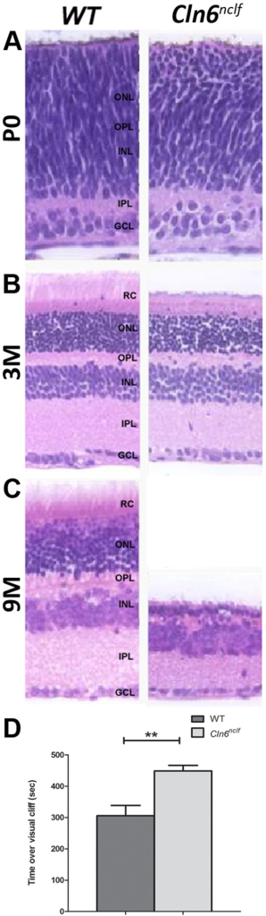 "Retinal degeneration and vision loss in the Cln6nclf mouse.Cell loss and structural degenerative changes occur in the retina of Cln6nclf mice. (A) Comparison of gross morphological changes over time in retina of Cln6nclf mice and their respective age-matched WT controls was done to determine mechanism of degeneration. (B) Micrographs (4X) show a section of one retinal hemisphere. (C) At P0 all layers are present and of equal thickness. By 3 months of age the Cln6nclf retina has begun to narrow and shows a distinct loss of the rods and cones while the overall cytoarchitecture remains intact. By 9 months the rods and cones are nearly absent and the outer plexiform layer is virtually nonexistent with the merging of a much thinned outer and inner nuclear layers. Additionally, there is a distinct narrowing of the inner plexiform layer. [RC-Rode/Cone layer; ONL-Outer nuclear layer; OPL-Outer plexiform later; INL-Inner nuclear layer; IPL-Inner plexiform layer; GCL-Ganglion cell layer]. (D) At 8 months of age, Cln6nclf mice displayed a significant reduction in visual acuity in a visual cliff assay. Mutant mice were unable to distinguish between a ""safe"" region of the visual cliff box versus the ""unsafe"" cliffed portion, spending equal time between the two regions. [Mean (in seconds) +/- SEM, n = 6–9 mice per group (**p≤0.01)]."