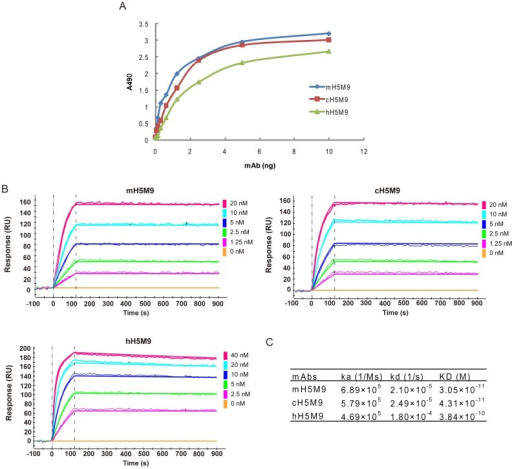 Characterization of cH5M9 and hH5M9 antibodies.(A) Antigen-binding capacity of mH5M9, cH5M9 and hH5M9 were measured by an indirect ELISA. (B) Affinity determination of mH5M9, cH5M9 and hH5M9 by surface plasmon resonance (SPR) assay. Various concentrations of mH5M9, cH5M9, hH5M9 and irrelevant anti-EGFR antibody C225 were injected on a GLC sensor chip immobilizing H5 HA (A/Vietnam/1194/04) for SPR kinetic binding analysis. Binding curves were recorded using ProteOn system in SPR biosensor instrument (BioRad Labs). (C) Calculated values of the association rate constant (Ka), dissociation rate constant (Kd), and equilibrium dissociation constant (KD) of mH5M9, cH5M9 and hH5M9.